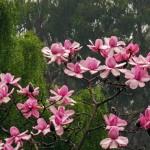 Magnolia Campbelli 1331