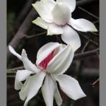 Magnolia Campellii 1291 to 1294