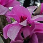 Magnolia Sargentiana 1211