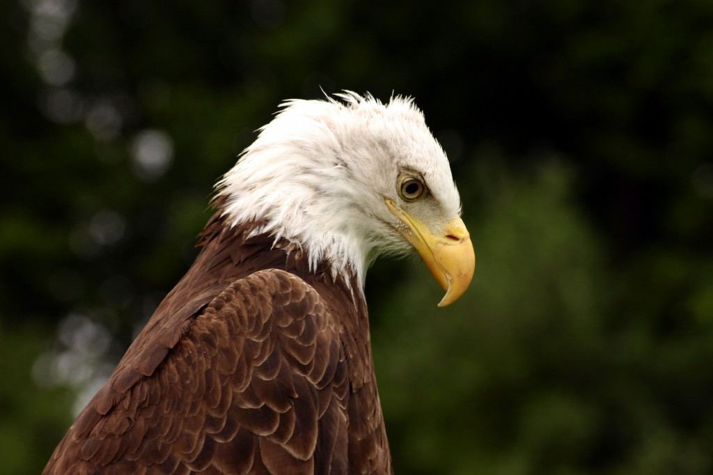 Bald Eagle Looking