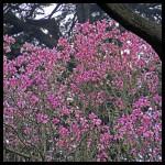 Magnolia campbellii,latepink