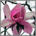 Magnolia Campbellii 1245