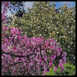 Magnolia dawsoniana6_x_doltsopa8