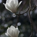 Magnolia Denudata 3278